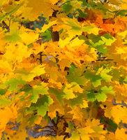 Colorful autumn tree leaves sunset