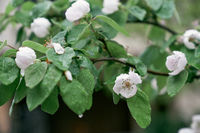 Blooming quince tree with raindrops on leaves