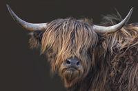 scottish highland cattle 10