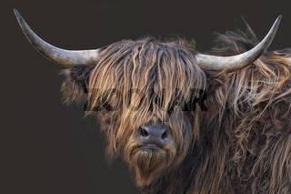 schottische Hochlandrinder 10