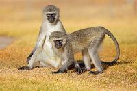 Two vervet monkeys (Cercopithecus aethiops) sitting on the ground