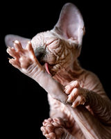 Canadian Sphynx kitten licks its outstretched hind paw with its tongue on black background