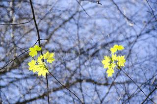 Bergahorn, Acer pseudoplatanus