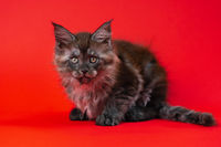 Cute kitty Maine Shag of color black smoke two months old lies on red background and looks at camera