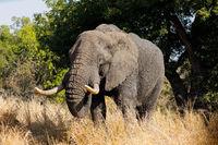 Large African bull elephant (Loxodonta africana)