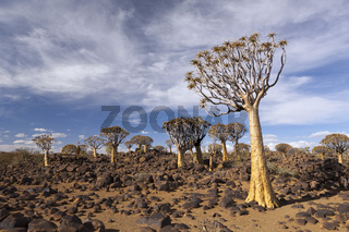 Koecherbaumwald, Namibia