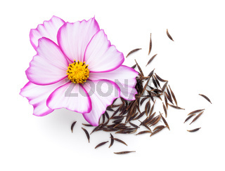 Seeds Of Cosmos Flowers With Fresh Flower