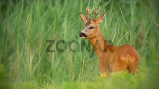 Roe deer buck observing on meadow in summertime nature.