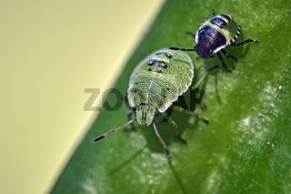 Nymphen der Grünen Stinkwanze ( Palomena prasina ).