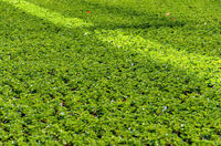 Green geranium plants prepared for sale