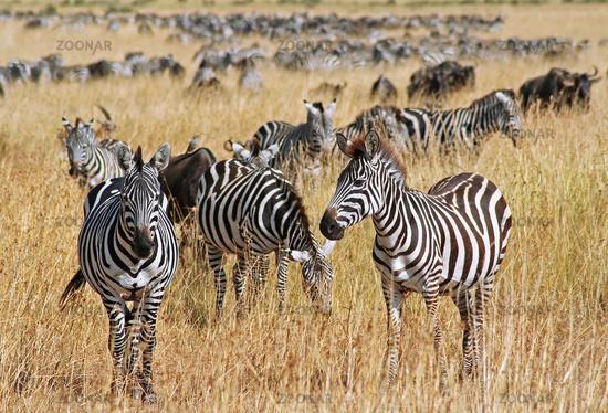 Zebras at Masai Mara, Kenya