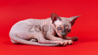 Cute Canadian Sphynx Cat of blue mink and white lies on red background and stares intently at camera