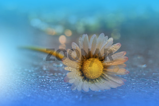 Beautiful Nature Background.Floral Art Design.Abstract Macro Photography.Daisy Flower.Pastel Flower.