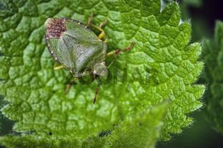 Grüne Stinkwanze , auch als Gemeine Stinkwanze oder Gemeiner Grünling ( Palomena prasina ).