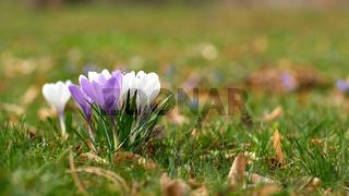 Blühende Krokusse auf einer Wiese im Frühling