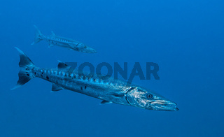 Great Barracuda (Sphyraena barracuda)  Key Largo, FL, USA