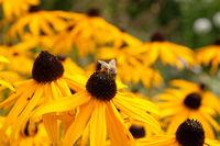 Gelber Sonnenhut mit Biene