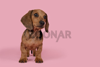 Cute badger dog puppy standing looking away on a pink background with space for copy
