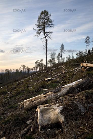 Forest dieback, Eggegebirge, near Velmerstot, Horn-Bad Meinberg, Germany, Europe
