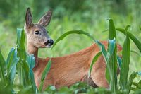 Portrait of roe deer doe female in summer
