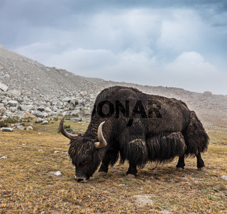 Yak grazing in Himalayas