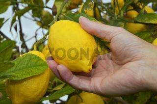 Farmer pflückt reife Zitrone