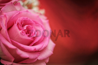 Soft Pink Rose on Red Bokeh Background