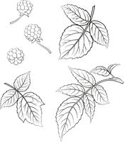 Blackberry and Leaves Contours