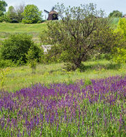 Summer blossoming wild purple Salvia  flowers (known as meadow clary or meadow sage) and windmill in far on hill top.