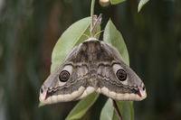 small emperor moth - female
