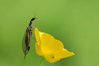 Snake fly (Raphidioptera)
