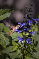 A hummingbird drinks nectar from flowers. Estes Park, Colorado.