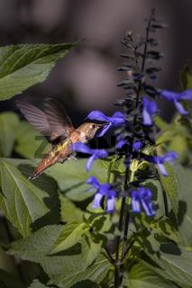 A hummingbird drinks nectar from flowers. Estes Park, Colorado.