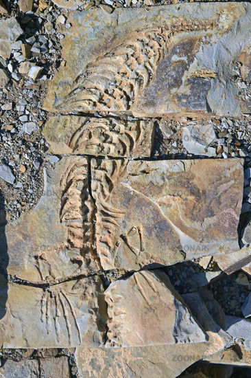 approx. 300 million year old fossils of Mesosaurus tenuidens
