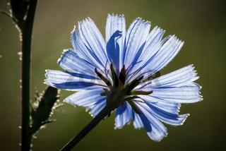 Gemeine Wegwarte, Common chicory (Cichorium intybus)