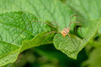 Detail shots of a harvestman spider on a leaf against a green background