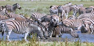 Zebras im Wasser, Steppenzebras, Etosha, Namibia | Zebras in the water, Equus quagga, Etosha, Namibia