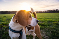 Beagle dog on Rural area. RSunset in nature