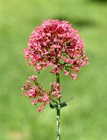 Spornblume, Centranthus ruber