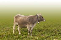 Cattle on a meadow