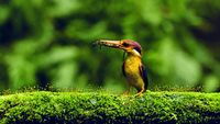 Oriental dwarf kingfisher with Gecko kill in beak, Ceyx erithaca Mumbai, Maharashtra, India