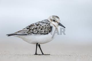 Ein Sanderling im Jugendkleid steht ruhend am Strand / Calidris alba