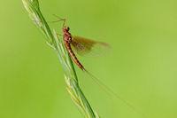 Dayfly (Ephemeroptera)