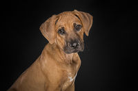 Portrait of a Rhodesian Ridgeback puppy looking at the camera seen from the side at a black background