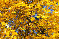 Maple-tree with autumn yellowed sunlight maple leaves in forest