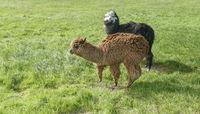 Alpacas at a meadow