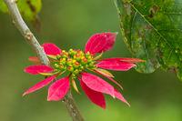 wild Poinsettia (Euphorbia pulcherrima)