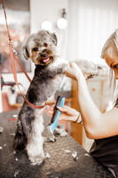 Young blond professional groomer love her job with yorkshire dog and all of the pets.
