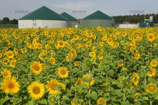 Biogasworks with sunflowerfield
