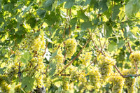 White grapes (Vitis vinifera) in a wineyard